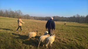 Les agneaux au biberon